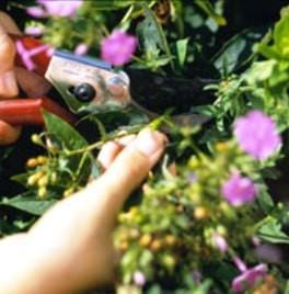 Хризантемы подготовка к зиме