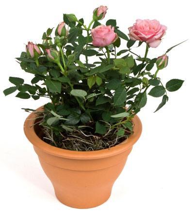 Цветок семейного счастья и благополучия фото