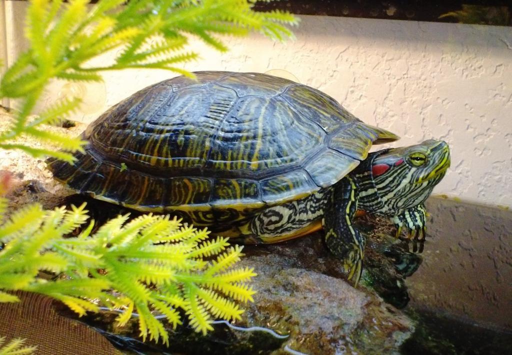 этого происходит водная черепаха в домашних условиях картинки нормы