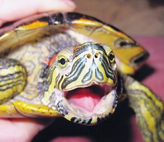 черепаха с открытым ртом