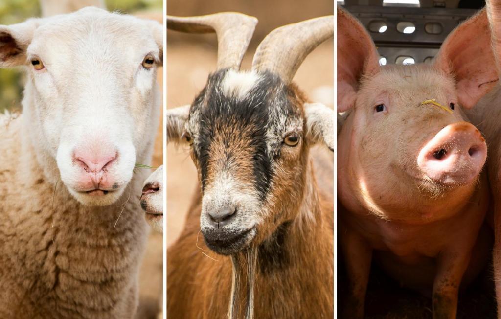 Sheep, goats, pigs