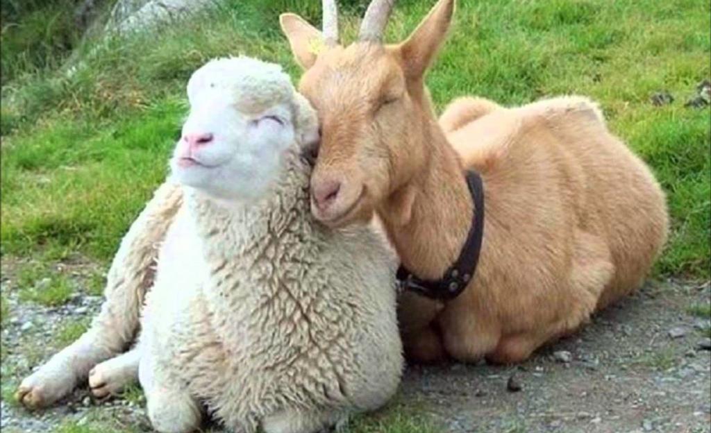 Овца и коза