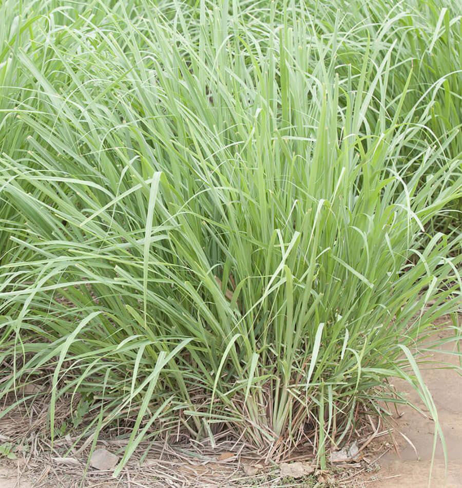 Куст лимонной травы