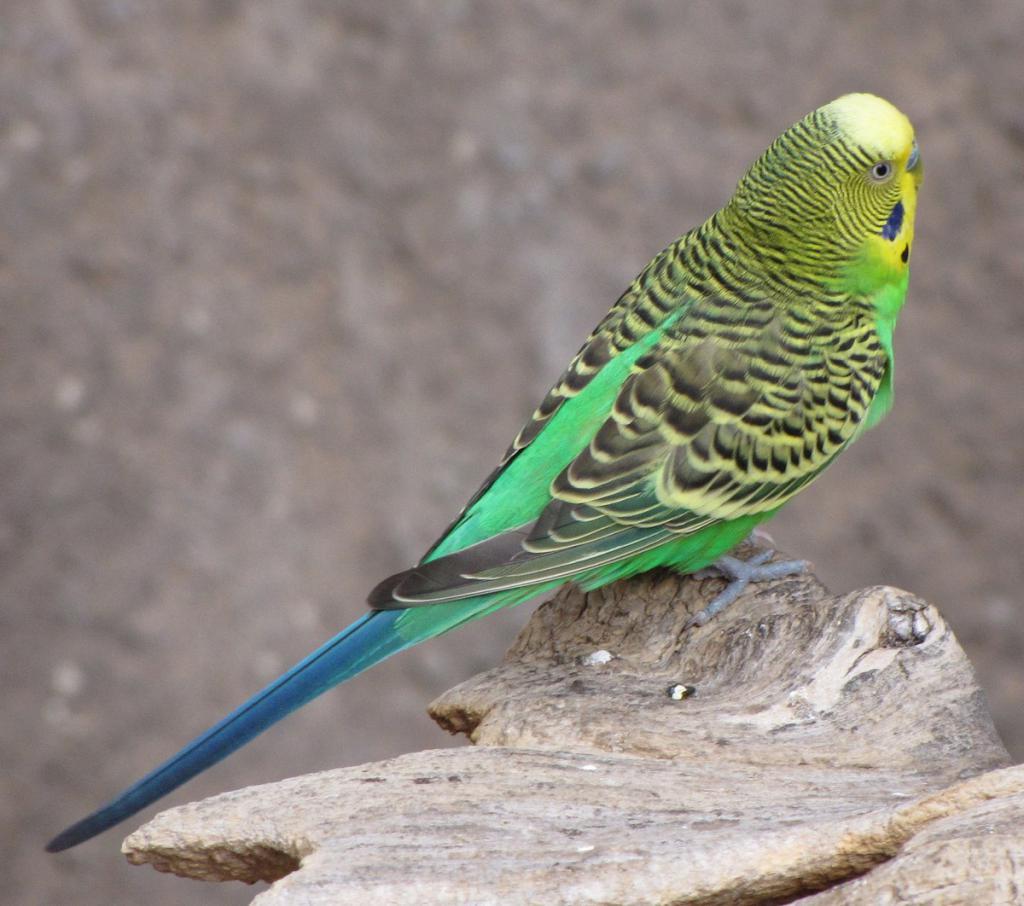 Картинки попугая волнистого