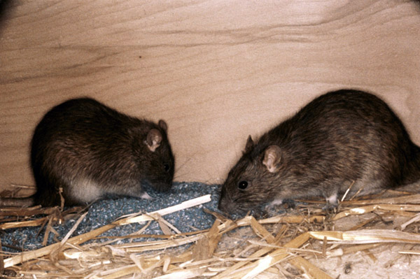 Крысы и мыши