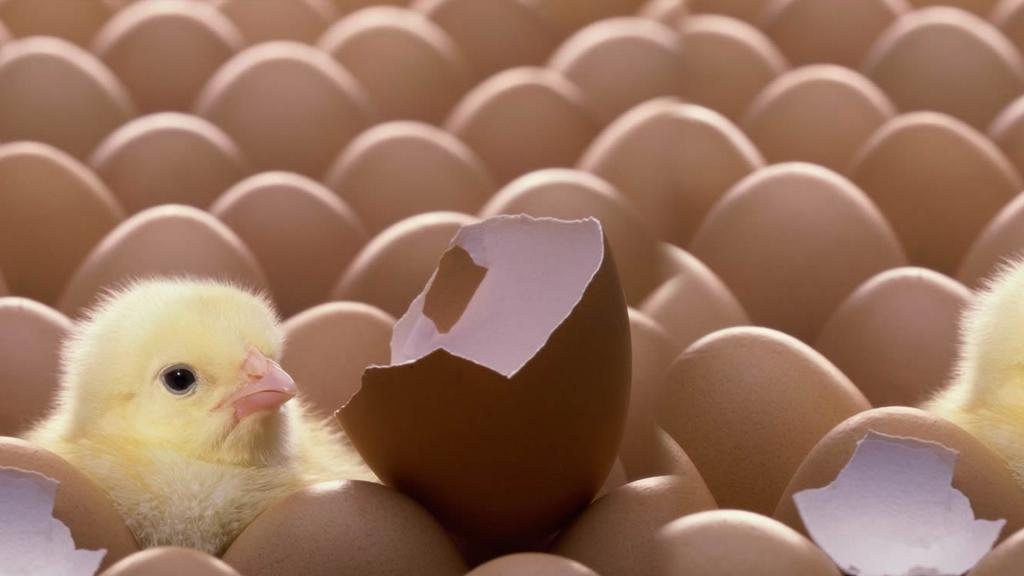 Яйца и цыпленок