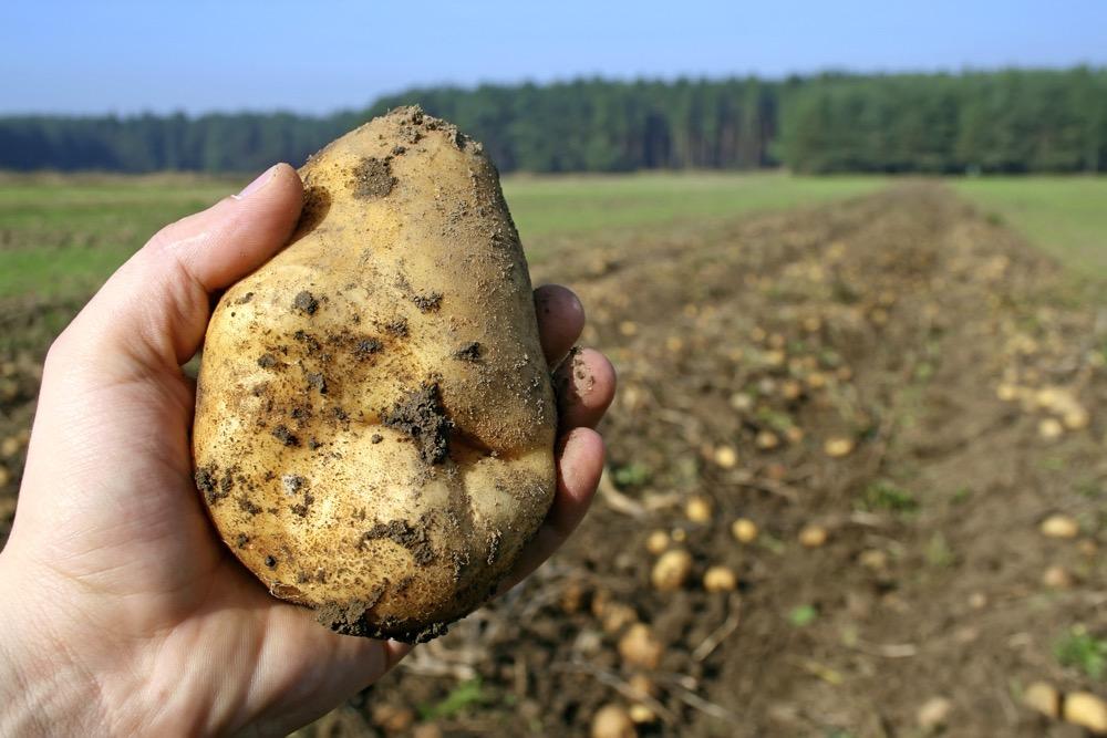Картофелина в руке