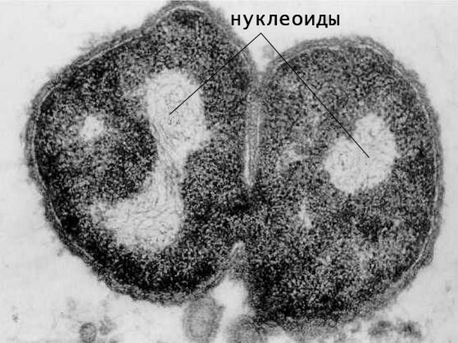 Функция нуклеотида в бактериальной клетке