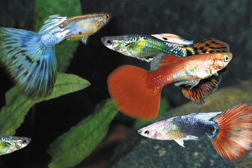 аквариумные гуппи