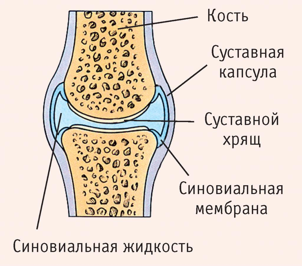 Описание строения сустава