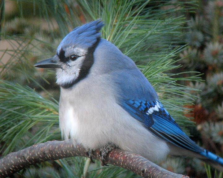 Синяя сойка (голубая): семейство, места обитания, выведение потомства, цикл жизни и описание с фото