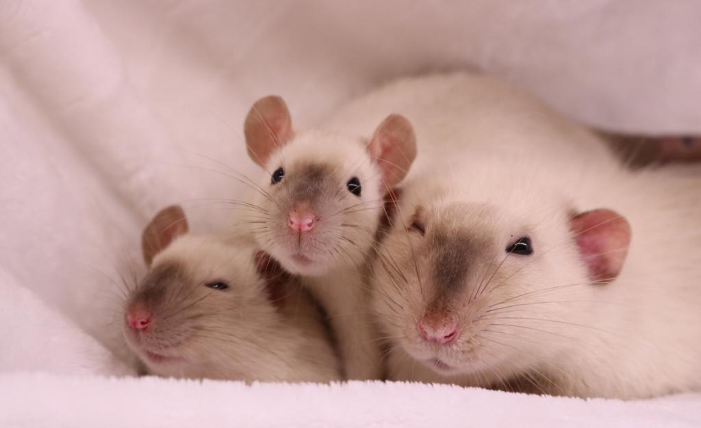 Крысята дамбо сиам фото
