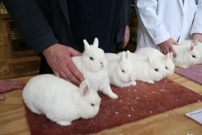 гермелин кролик отзывы