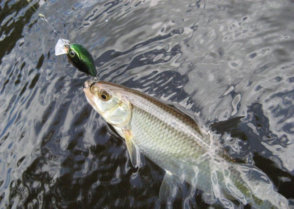 Мохтик рыба описторхозная или нет