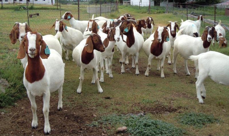 Породистые козы