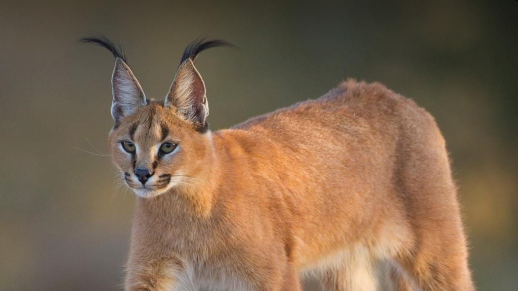 Каракал (пустынная рысь, степная рысь): внешний вид, ареал обитания, образ жизни и питание