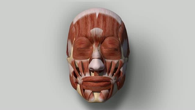 мимические мышцы лица
