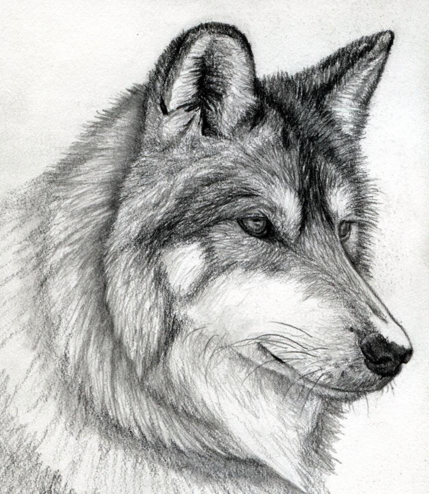 Рисунки морду волка поэтапно карандашом фото