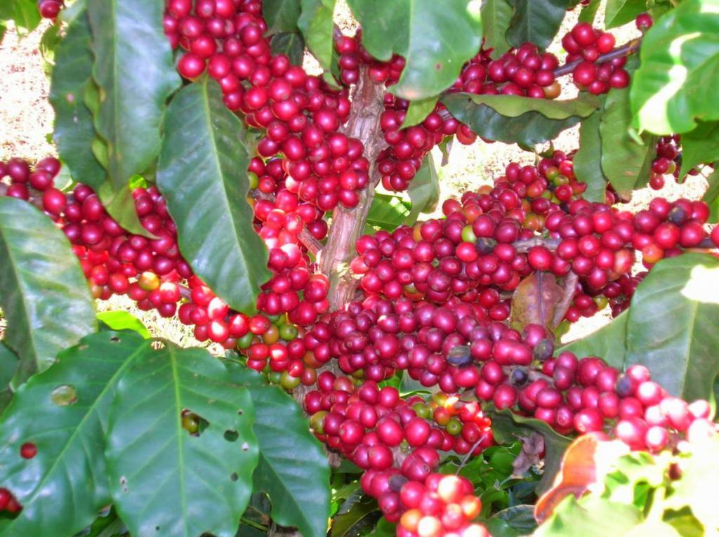 Arabica fruit