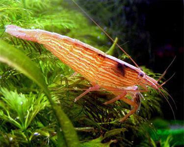 аквариумные пресноводные креветки