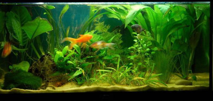 креветки аквариумные виды
