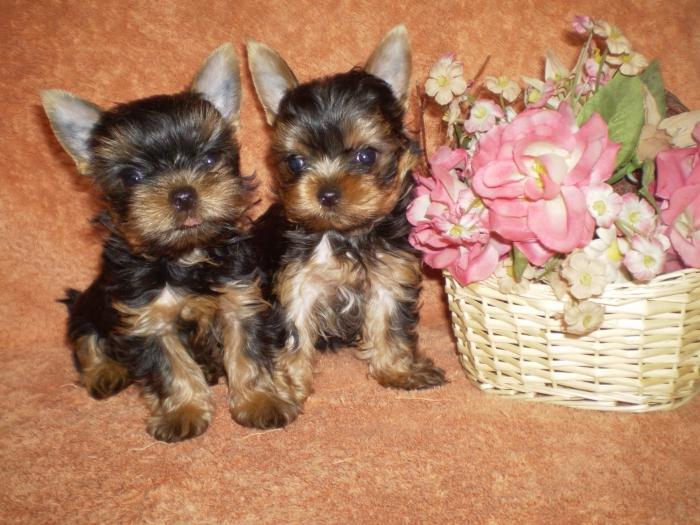 виды маленьких собак