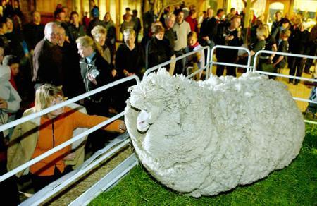 Что дают овцы-мериносы? Шерсть, и не только лишь!