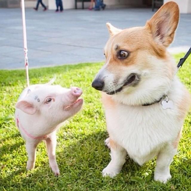 Картинки с новым годом собака и свинья