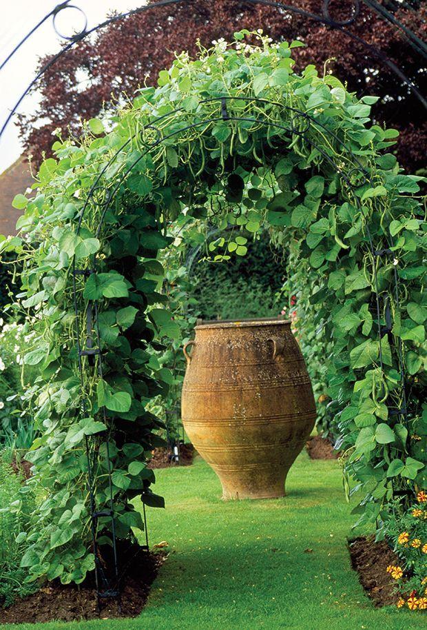 Изгородь из декоративной фасоли