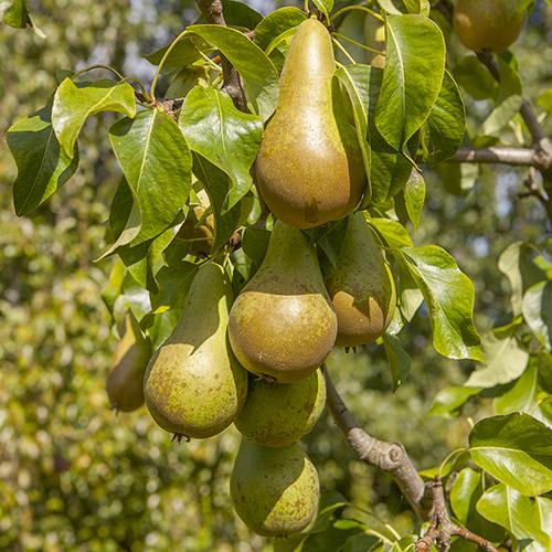 How to grow a pear