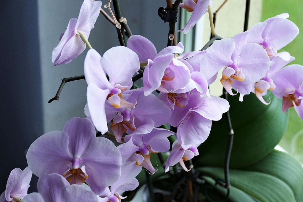 Сколько раз в год цветет орхидея в домашних условиях: особенности, интересные факты и рекомендации