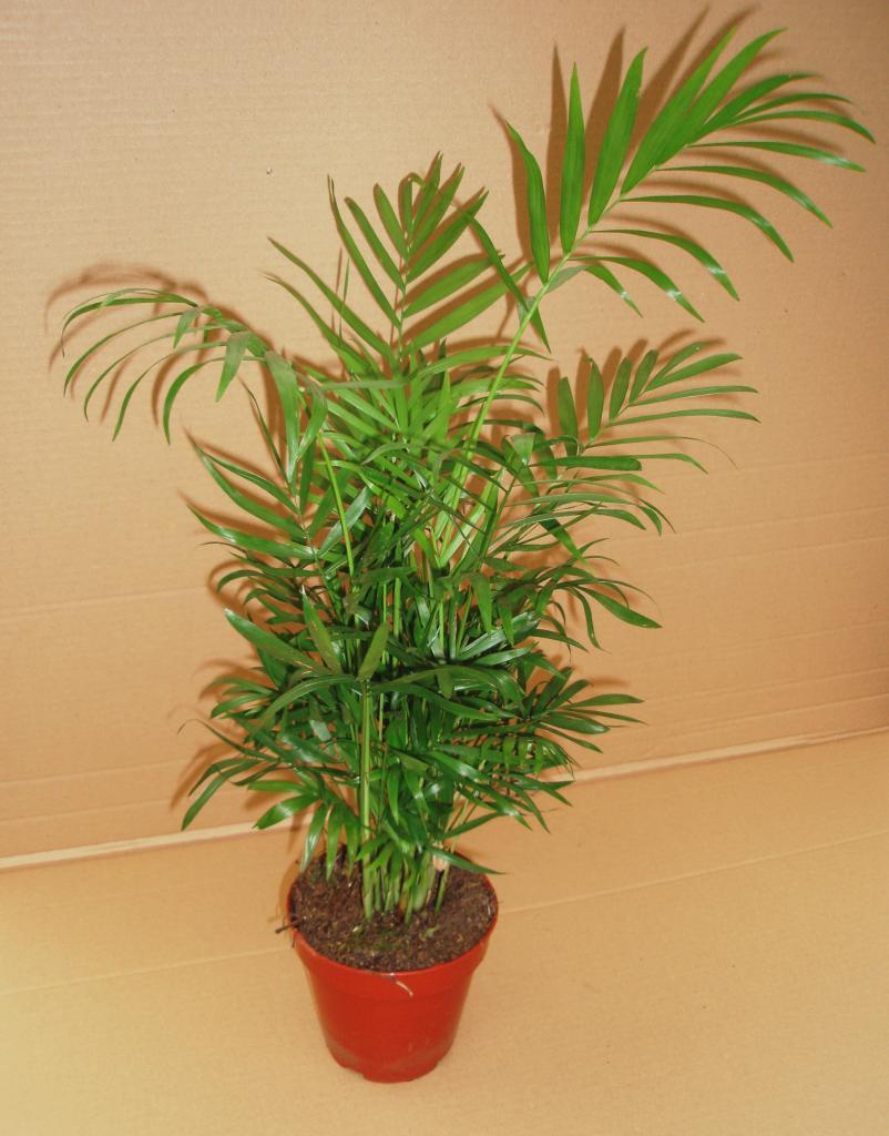 пальмы комнатные виды названия фото если