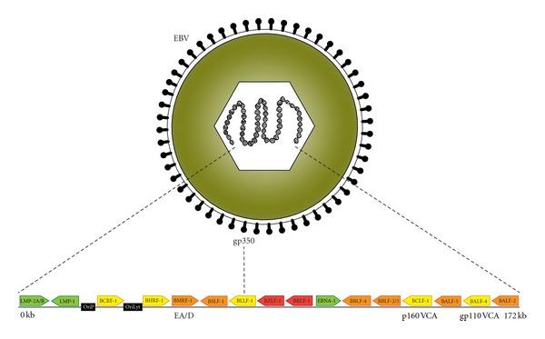 Epstein barr virus ядерный антиген igg