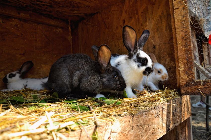 Кролики породы строкач