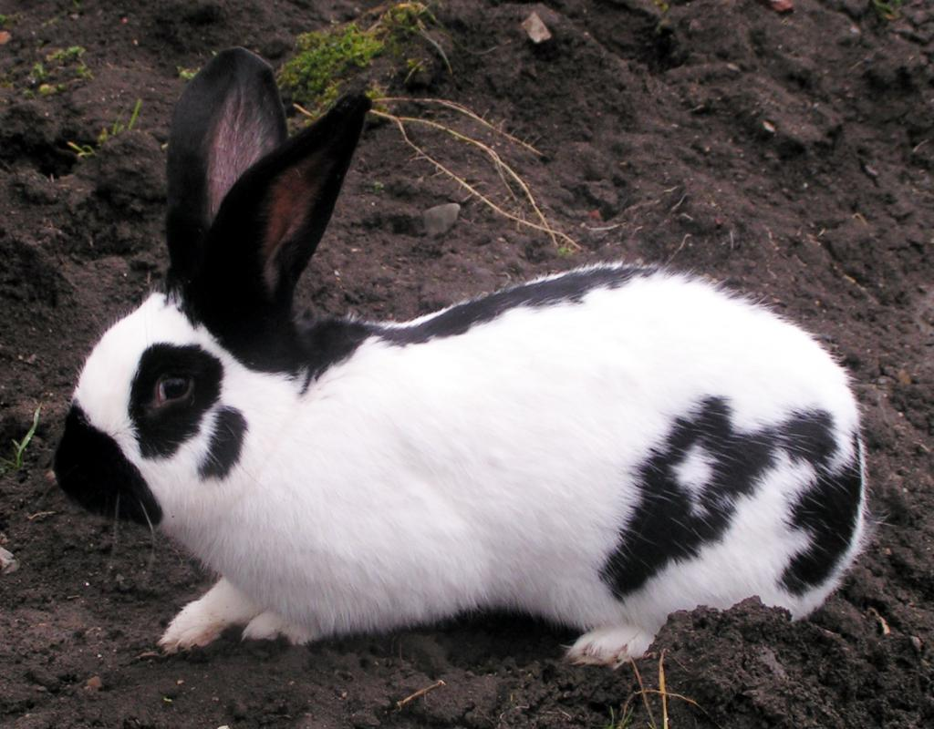 Кролик строкач