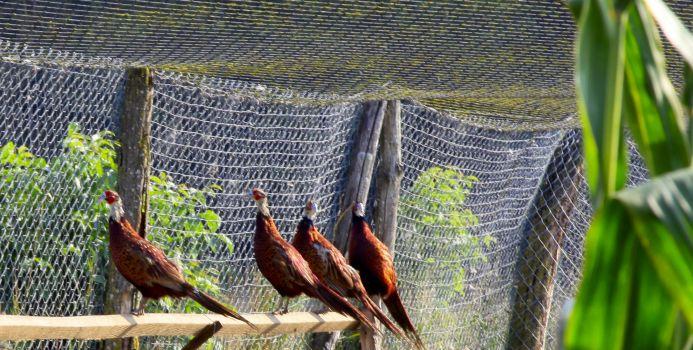 Pheasants behind the net
