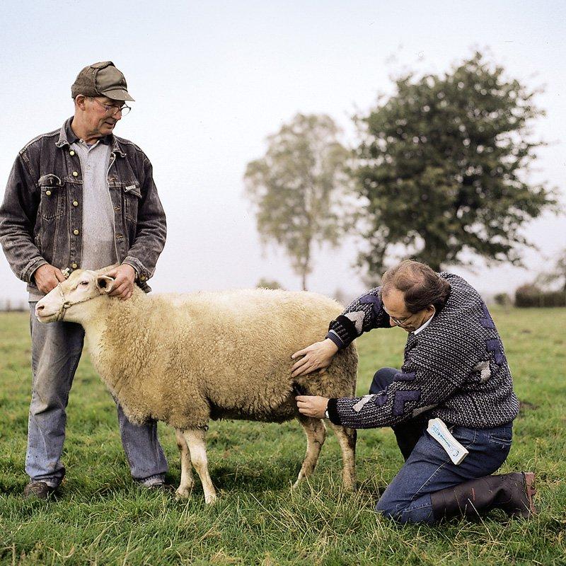 Уход за беременной овцой
