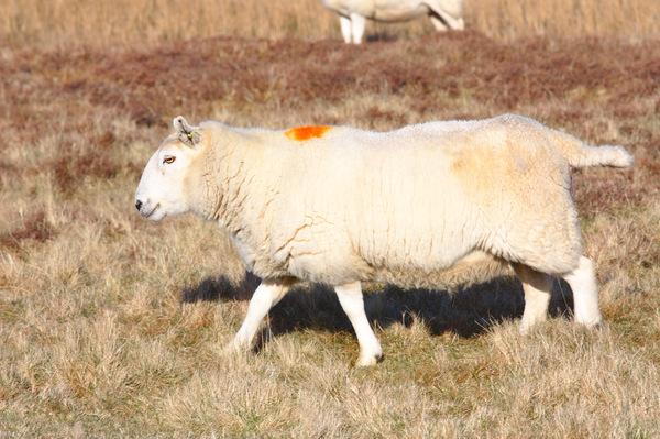 Беременная овца с меткой на спине