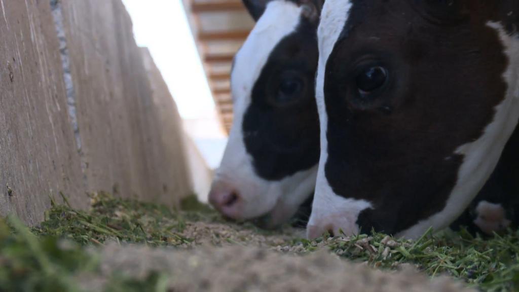 Сухостойный период у коров: кормление, особенности, продолжительность и нормы содержания