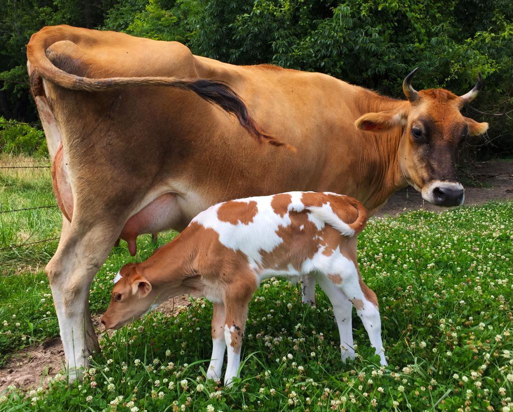 картинки домашних животных коров тоже