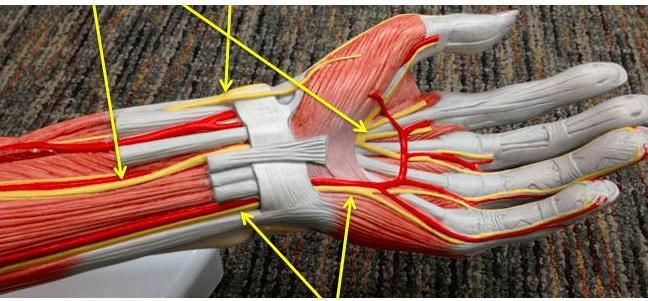 Нервы и мышцы левой руки.