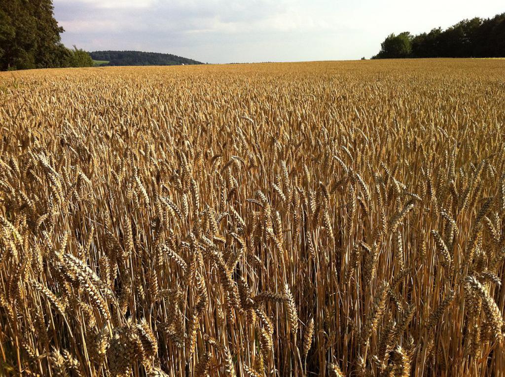 Озимая пшеница