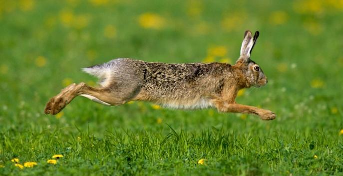 Взрослый кроль
