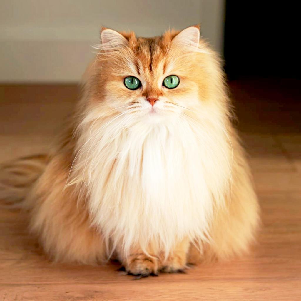 Как правильно и чем вычесывать кошку?
