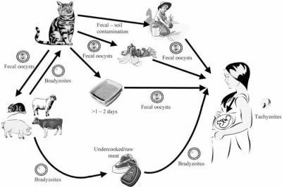 Жизненный цикл токсоплазмы гондии