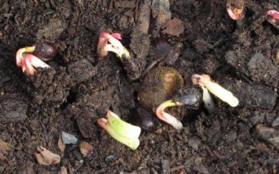 Как выглядят семена пиона