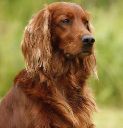 рыжая охотничья собака порода