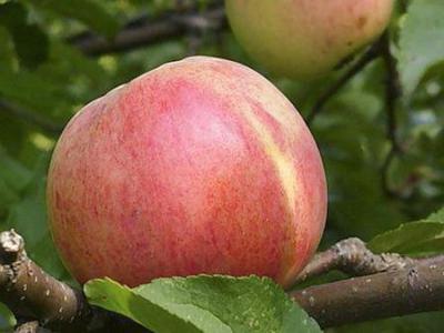 Сорт яблони Болотовское: фото, отзывы, описание, характеристики