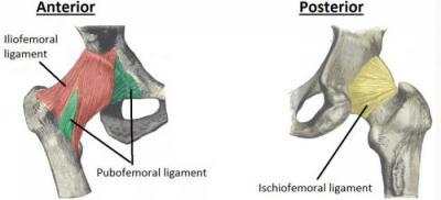 Изображение - Связки тазобедренного сустава анатомия 1515829
