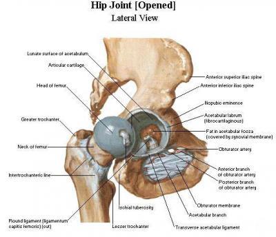 Анатомия тазобедренного сустава мышц и связок